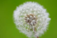 Dandelion (Eoghan Mac) Tags: nikon flower dandelion seed nature white green bokeh d300s focus blur