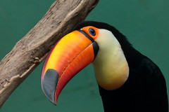 IMG_2895_1 (jopaz53) Tags: ef20028lll zoo bird toucan