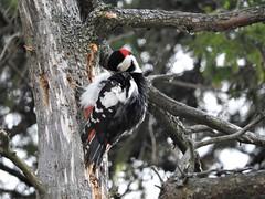 Don't get your feathers ruffled #161 (KaarinaT) Tags: woodpecker greatspottedwoodpecker feathers tree branches bird viikki helsinki finland käpytikka kelo