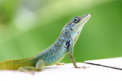 lzard (cth.huynh) Tags: sea green animal martinique banane foret plage oiseau tortue sucre lzard colibri sucrier