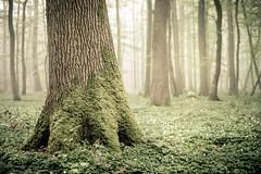 Trunk (derScheuch) Tags: germany deutschland nebel trunk grn wald baum stamm ammerland wildenloh
