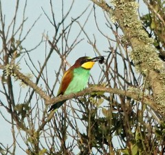 """Bee-eater, St. Mary's, 16.04.14, K .Webb. • <a style=""""font-size:0.8em;"""" href=""""http://www.flickr.com/photos/30837261@N07/13909973546/"""" target=""""_blank"""">View on Flickr</a>"""