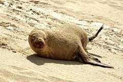 Seal Bay, Kangaroo island AUSTRALIA (Massimiliano Grossi) Tags: island bay australia seal kangaroo canon5d massimilianogrossi