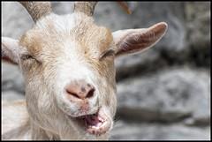 This isn't here (MisterQueue) Tags: saint zoo louis stlouis goat mo missouri stlouiszoo saintlouis doofy stlzoo saintlouiszoo