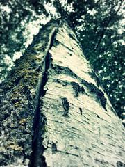 Split Personality (the tomographer) Tags: tree bark birch baum rinde birke leingarten