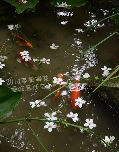2014油桐花_028.jpg