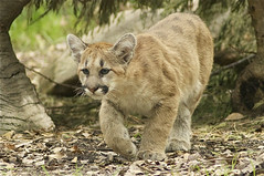 little prowler (ucumari photography) Tags: animal mammal zoo cub nc north carolina april puma cougar mountainlion 2014 catamount specanimal ucumariphotography dsc8895