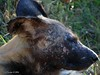 DSC08560 (Arno Meintjes Wildlife) Tags: africa animal southafrica wildlife safari endangered krugerpark africanwilddog wilddog lycaonpictus wildehond