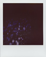 Flowers In The Dark (Polaroid 660, Impossible Color 600 2.0 Preview Edition) (baumbaTz) Tags: flowers blue flower color film analog germany dark polaroid deutschland evening abend flash ishootfilm 600 integral april instant epson analogue 20 blau blume blitz edition wedel analogphotography polaroid600 stade dunkel 660 preview impossible instantphotography autofocus 2014 niedersachsen lowersaxony filmphotography aspe fpp ilovefilm v500 filmisnotdead polaroid660 analoguephotography integralfilm istillshootfilm filmforever epsonv500 fredenbeck 201404 filmphotographyproject believeinfilm bargstedt scanadapter impossibleprojectscanadapter impossibleprojectcolor60020previewedition