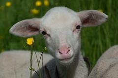 Lambs (bertrandwaridel) Tags: flowers castle field grass switzerland suisse lamb lambs yellowflowers vaud echallens