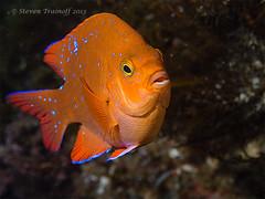 Juvenile Garabaldi in the Avalon Marine Park (- drsteve -) Tags: park blue portrait orange cold macro water catalina marine underwater scuba diving juvenile avalon garbaldi