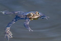 Western Toad (Lodgepole) Tags: amphibian toad