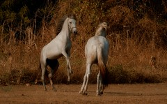 Whoa. (TazNoMore) Tags: horse field gold pony nicaragua horsesplaying granpacifica