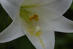 lily (ddsnet) Tags: plant flower lily sony hsinchu taiwan cybershot        sinpu hsinpu rx10