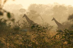 On a Misty Morning (gcquinn) Tags: africa park trip game southafrica geoff may national giraffes quinn april giraffe geoffrey preserve kruger 2014 largerthanlife 1gq1525