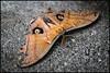Moth (PropWA) Tags: seattle canon butterfly washington unitedstates pacificsciencecenter fav10 tamronspaf1750mmf28xrdiii