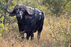 DSC_9719-001 (Arno Meintjes Wildlife) Tags: africa southafrica mammal buffalo wildlife safari capebuffalo krugerpark synceruscaffer africanbuffalo arnomeintjes