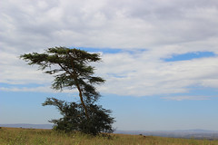ACACIA TREE, NAIROBI GAME PARK, KENYA 2014 (nordique72) Tags: animals landscape kenya nairobi lion zebra giraffe baboon wildebeast eland waterbuffalo warthog gamepark whiterhinoceros egyptiangoose osterich masaigiraffe ngonghills acaciatree thompsonsgazelle velvetmonkey crownbird animalsofkenya hardebeast maracoustork