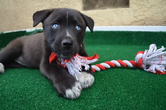 (JessieGarcia) Tags: blue portrait dog baby cute grass puppy mutt eyes lab husky colorful labrador blueeyes adorable rope headshot siberianhusky precious dogtoy huskador