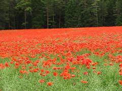 IMG_5845 (germancute) Tags: nature field landscape deutschland thringen feld thuringia poppy blume landschaft mohn