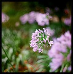 - (smadalin2012) Tags: flowers summer 6x6 film mediumformat kodak bokeh taiwan hasselblad scanned taichung hugo meyer ektar africanlily f27 plasmat  105cm drrudolph hasselblad203fe