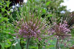 Allium schubertii (Henk M gardenphotoblog) Tags: flowers garden spring tuin lente bloemen nimg0677