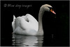 Swan and Cygnet (Blue Dog Images) Tags: canon swan cygnet canon70d