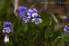 """Violets • <a style=""""font-size:0.8em;"""" href=""""http://www.flickr.com/photos/63501323@N07/14291150646/"""" target=""""_blank"""">View on Flickr</a>"""