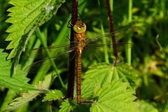 DSC01076 - Norfolk Hawker (steve R J) Tags: dragonfly norfolk reserve british marsh hawker rockland odonata rspb