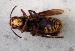 Vespe Morticus (Vecchia Casa Umbria) Tags: summer italy june insect countryside italia vespa estate wasp giugno umbria deadwasp vecchiacasa ruralumbria