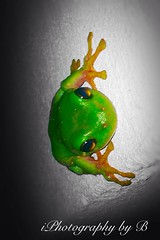 Green with Envy (Emma Rowe) Tags: colour nature wildlife amphibian frog photoediting greentreefrog iphone ogt iphoneediting