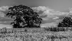 Rural Tranquility (BGDL) Tags: trees blackandwhite monochrome rural landscape scotland country peaceful farmland troon ayrshire odc nikond7000 afsnikkor18105mm13556g bgdl lightroom5