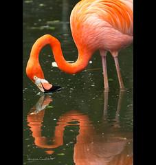 olhe-se... (Adriana Casellato) Tags: nature animal animals água brasil lago zoo agua natureza sp ave animais reflexo passaro zoologico adrianacasellato