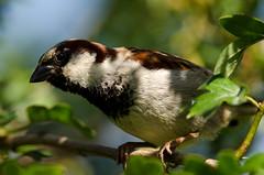 Male house sparrow (birdfan2) Tags: bird garden sparrow housesparrow