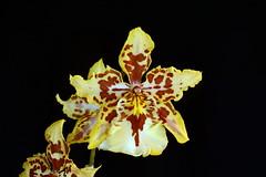 Wilsonara Hybrid (Nurelias) Tags: flowers flores orchid flower color macro fleur beautiful forest photography flora nikon rainforest colorful orchids orchidaceae tropical orquidea orchidee makro flore orchideen d7100 orchidales