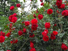 Red roses (Stella VM) Tags: flowers red roses flower colour green nature rose garden spring redrose redroses