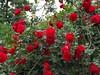 Red roses (Stella VM) Tags: flowers red roses flower colour green nature rose garden spring redrose redroses роза природа пролет цвят цветя цвете градина рози червена