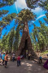 IMG_8734 (alanstudt) Tags: california forest canon nationalpark yosemite redwood 8mm sequoia yosemitevalley giantredwood giantsequoia mariposagrove f35 t4i rokinon thecaliforniatunneltree shotinrawformat alanstudt adobelightroom5