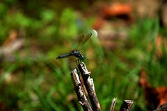 green eyed blue dragonfly (ashlyn.maria) Tags: blue green nature up closeup photography fly photo big cool wings stem eyes branch dragon close shot dragonfly body head perch