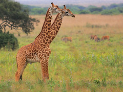 The Eighth Wonder of the World! (Rainbirder) Tags: ngc npc giraffacamelopardalistippelskirchi giraffacamelopardalis masaigiraffe nairobinationalpark nairobinationalparkgiraffacamelopardalistippelskirchi