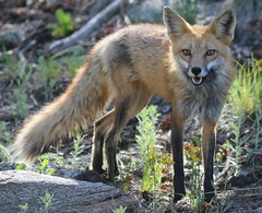 Red Fox With Mouse In It's Mouth (fethers1) Tags: ngc npc fox genesee redfox coloradowildlife