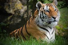 a (5) (snapperglenn) Tags: new cats cute beautiful zoo big nikon wildlife teeth tiger zebra winchester marwell