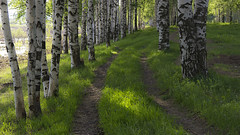 a glimpse (Sergey S Ponomarev) Tags: road wood trees light summer sunlight tree primavera nature grass forest canon landscape spring woods warm dof russia path north perspective may warmth natura birch glimpse maggio 2014 kirov       600d vyatka 24105l     sergeyponomarev viatka