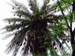The Nests ! (rick_toor) Tags: india tree green beautiful birds village nests haryana iphonephotography ricktoor