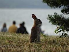 Binzer Strandkaninchen (Manuela Vierke) Tags: animal rgen tier kaninchen strandhasen strandkaninchen