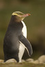 Yellow-eyed penguin,