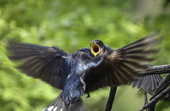 DSC00538 (Coguar) Tags: nature birds animals sony croatia digitalzoom 2x x200 coguar 4800mm hx400v
