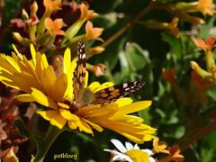 A butterfly in my garden (pat.bluey) Tags: butterfly australia newsouthwales blacktown mygarden abigfave