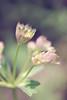 pastel (-justk-) Tags: pink flower green nature garden pastel eden astrantia zeeuwsknoopje greatmasterwort grootsterrenscherm
