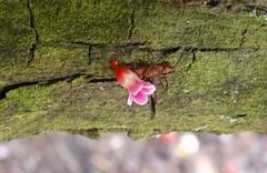 Fourmi manioc Acromyrmex octospinosus transportant une fleur de Carambolier Averrhoa carambola (Thomas Delhotal) Tags: guadeloupe faune carambola manioc fourmi carambolier averrhoa acromyrmex octospinosus invertbr